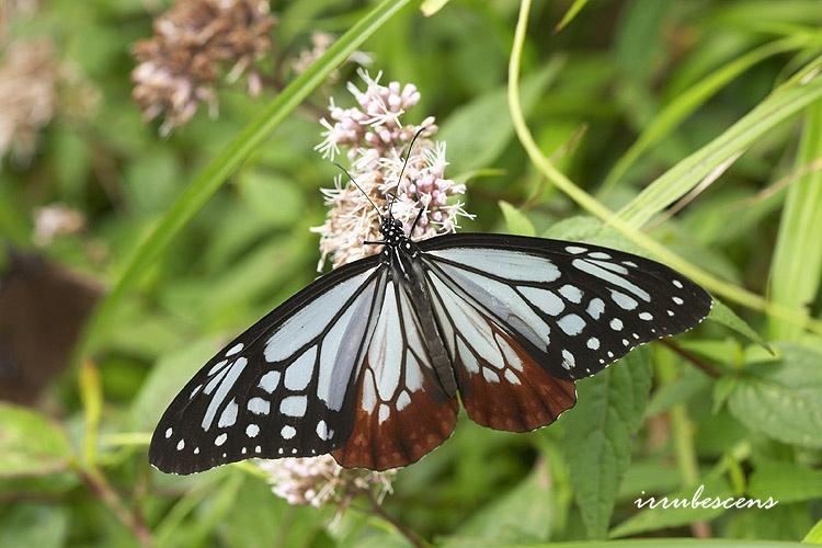 臺灣蝴蝶圖鑑 Butterflies of Taiwan: N04-3 大絹斑蝶