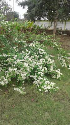 bogenvelia plant