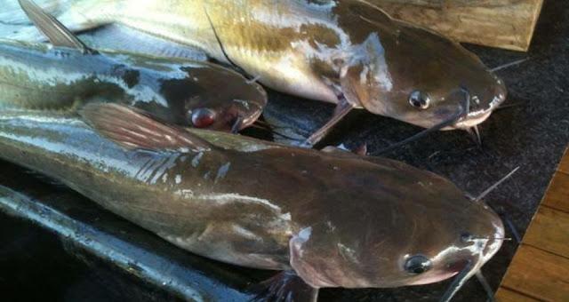 Cara Mematikan, Membersihkan dan Mengolah Ikan Lele