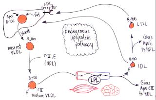 Skema biosintesis VLDL didalam tubuh
