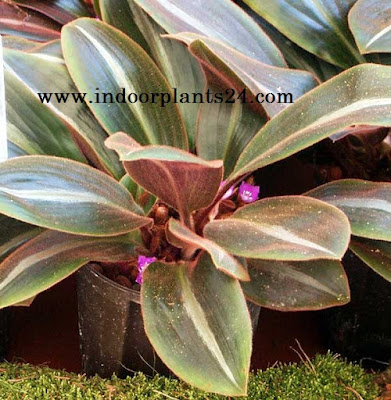 Brown Spiderwort Siderasis Fuscata indoor plant