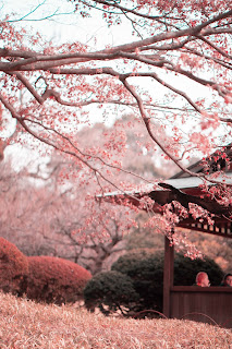 photo of cherry blossoms 1882996