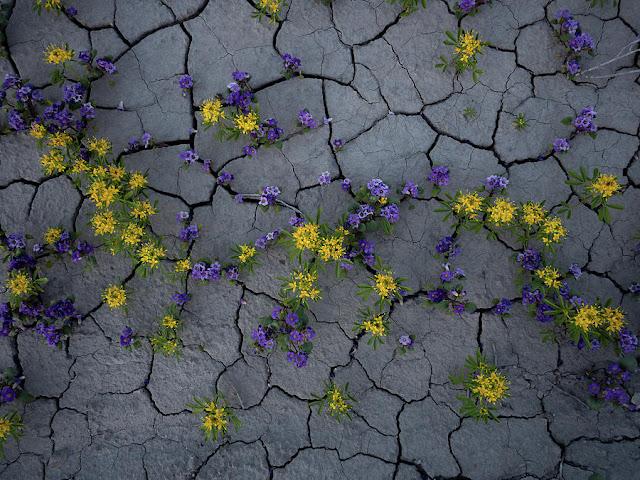flores amarillas en el suelo agrietado del desierto