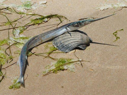 Peixe Agulha (Strongylura marina)