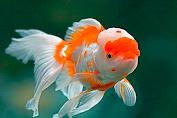 Jenis-jenis ikan mas koki yang sering di jumpai