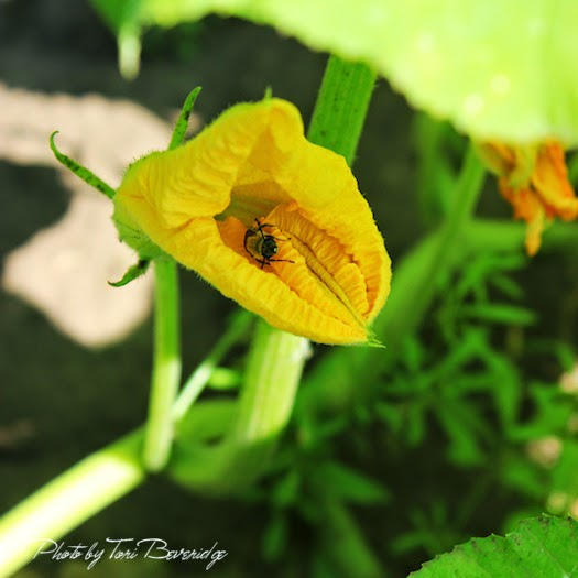 Bee in Squash Blossom Photo by Tori Beveridge AHWT