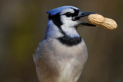 Photo of Blue Jay eating peanut. Image by edbo23 from Pixabay
