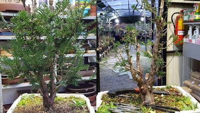 Los bonsais inician su camino así.