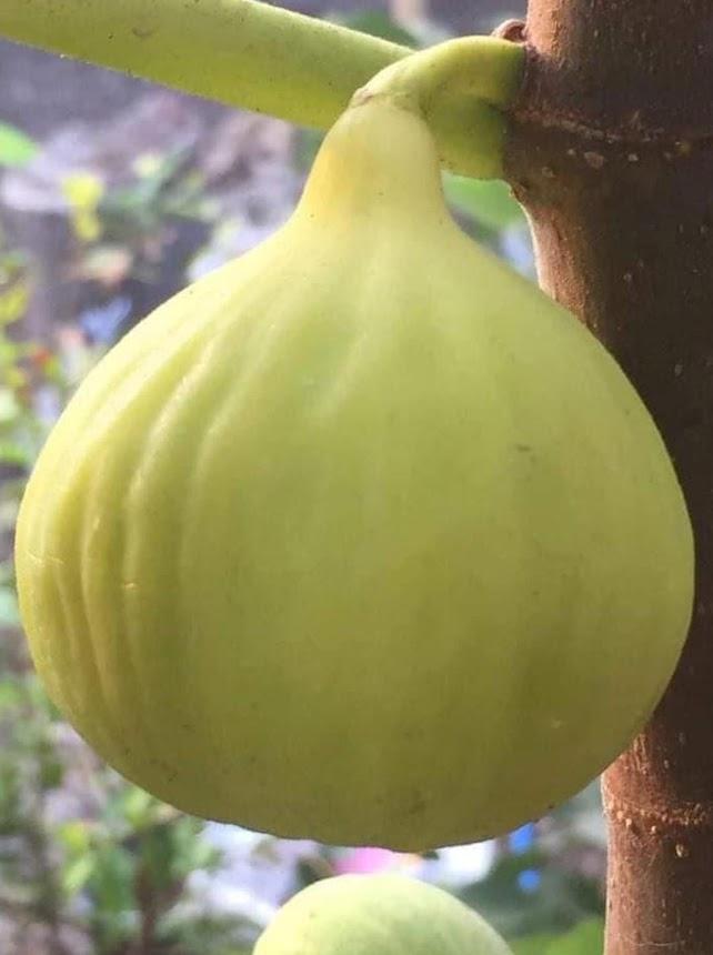baru bibit buah tin jenis yellow giant khasi china cangkok murmer big sale Pematangsiantar