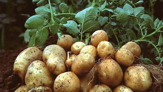 Khoai tây tốt cho người bệnh loét dạ dày và táo bón mãn tính