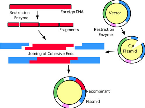 Recombinant plasmid with restriction enzymes