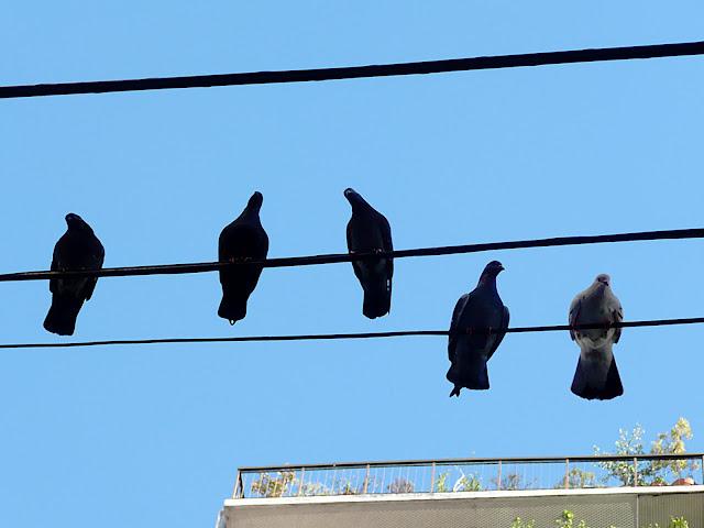 5 Palomas en cables de Teléfonos.