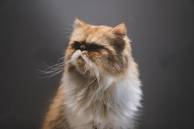 A ginger and white Persian cat with long whiskers looks off to the side