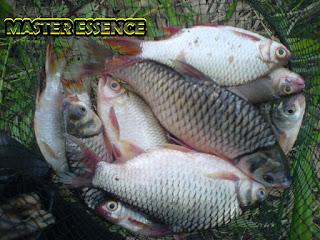 Essen Ikan Tawes Babon Galatama