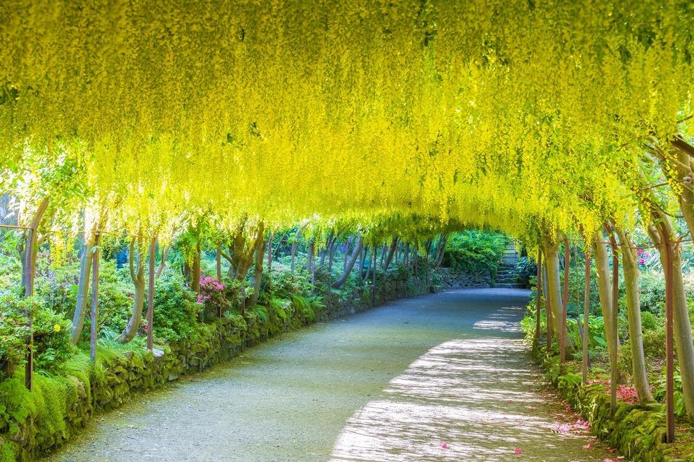 Lluvia de flores amarillas de laburno
