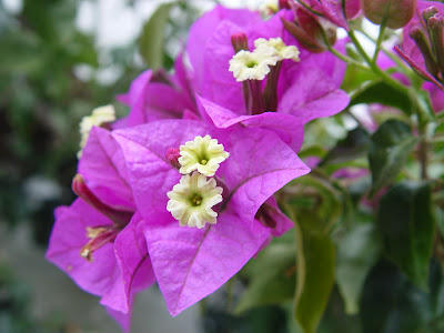 Bougainvillea in bloom