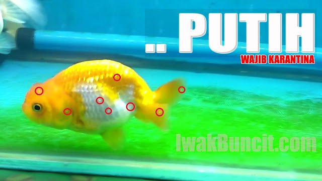 3 Hari Langsung Sembuh: Cara Menyembuhkan White Spot pada Ikan Mas Koki - Based on Pengalaman