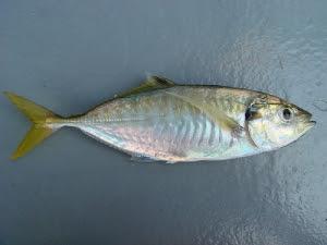 Resepi Masak Lemak Cili Padi Ikan Selar Sedap Dan Segar