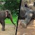 Este elefante murió de cansancio… cargó a turistas durante 16 años en Camboya