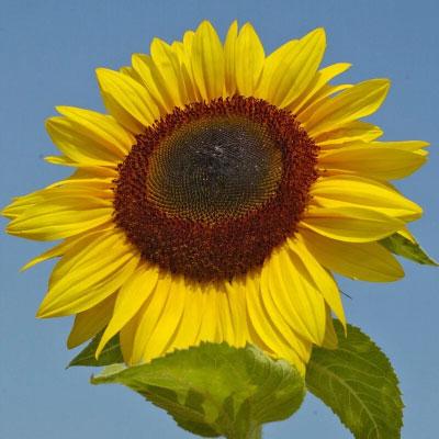 向日葵種子 高性品種泰坦
