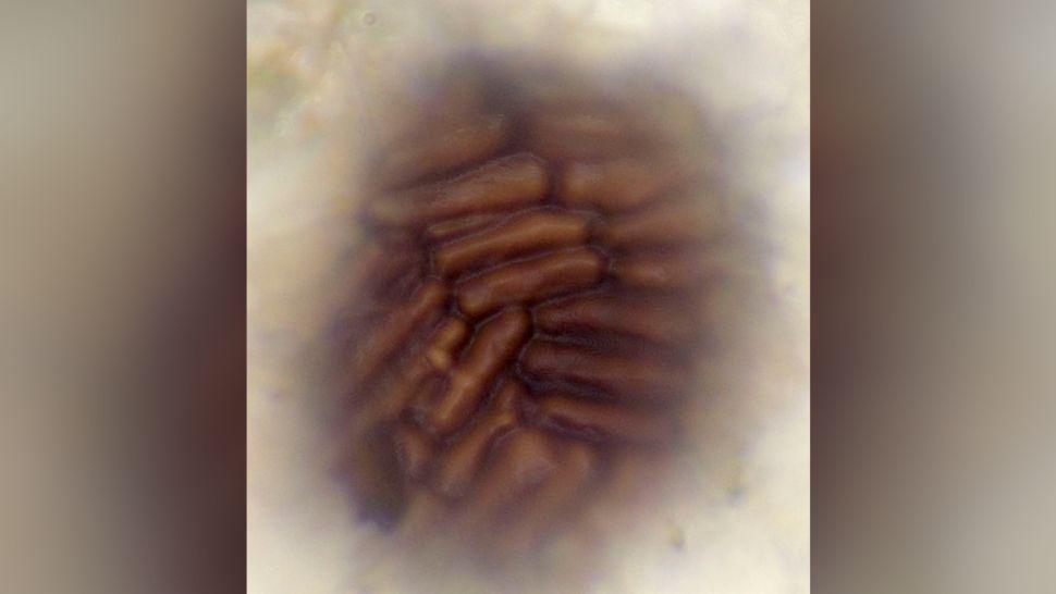 Vista de superfície de um espécime de B. brasieri, mostrando o padrão de azulejos de conjuntos de células alongadas.