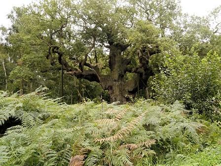 Jellegzetes fa a sherwoodi erdőből