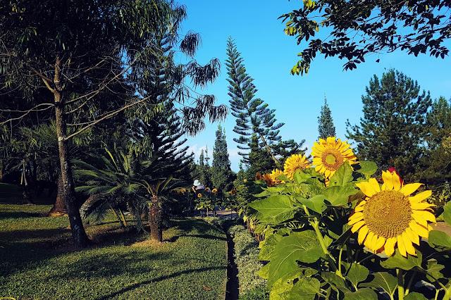 Sunflowers @ Taman Saujana HIjau, Putrajaya