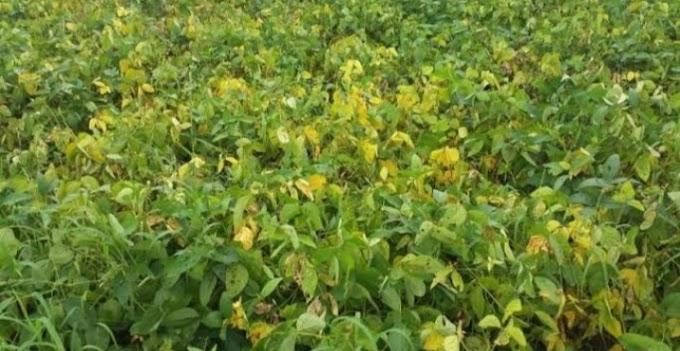 किसानों को वैज्ञानिकों की सलाह: परंपरागत सोयाबीन जेएस 9660 का मोह छोड़े, जानिए सोयाबीन की कौन सी वेराइटी इस वर्ष आपको अच्छा परिणाम दे सकती है