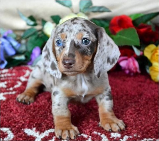 Miniature Dle Dachshund Puppies For