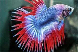 Ikan cupang siam sisir