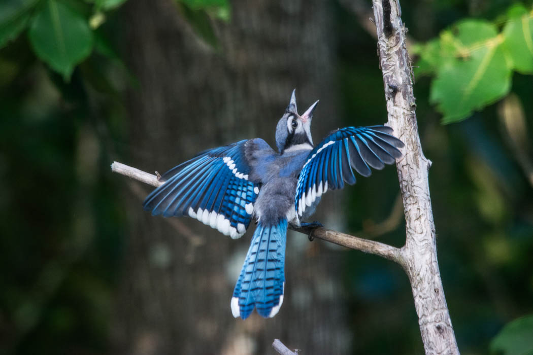 Fledgling bluejay
