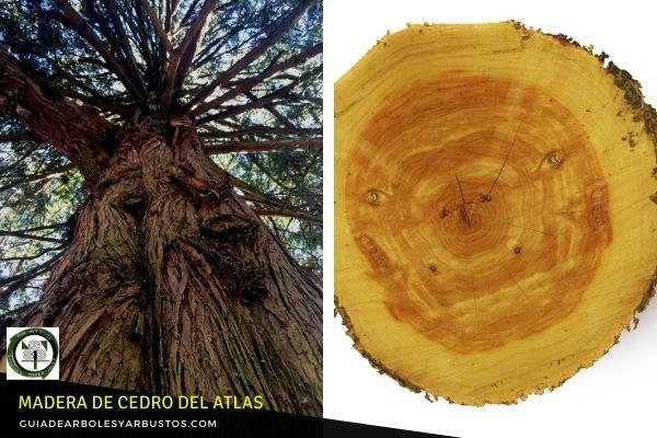 Madera de Cedro de Atlas es utilizada para ebanistería, incrustaciones y carpintería de lujo