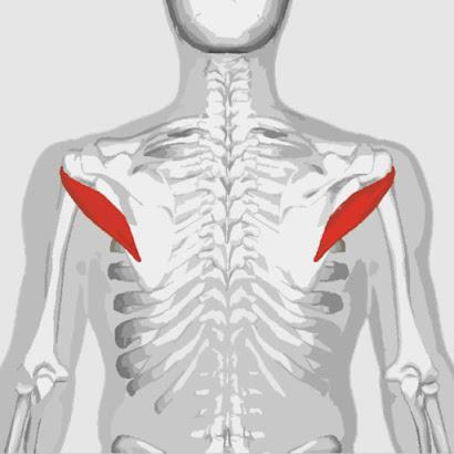 Músculo redondo menor remarcado color rojo