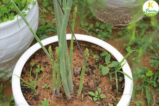 Cách trồng cây măng tây tại nhà
