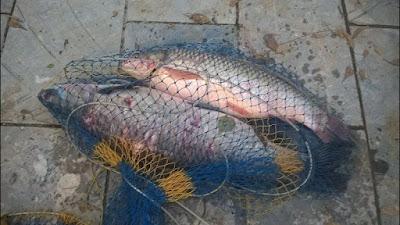 Kỹ thuật làm mồi, nhậy và cách câu cá trắm đen hiệu quả nhất