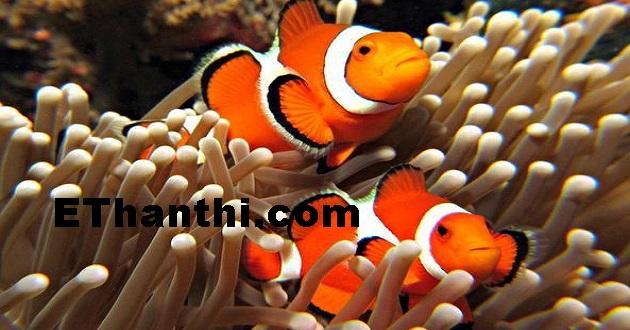 கோமாளி மீன்கள் எப்படி தப்பிகிறது?   How to get rid of clown fish?