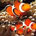 கோமாளி மீன்கள் எப்படி தப்பிகிறது? | How to get rid of clown fish?