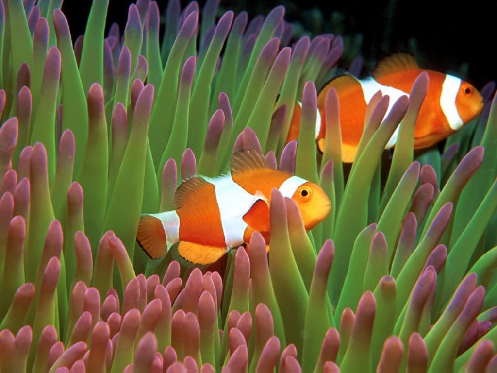 Clown fish wallpapers pets cute and docile for Clown fish adaptations