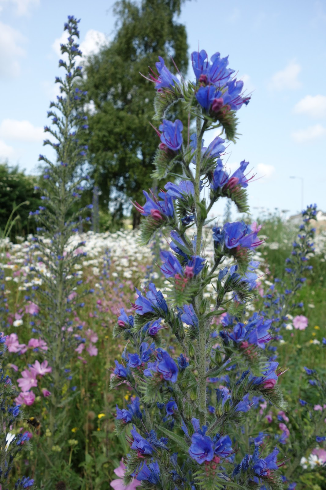 Tall blue flowers perennial euffslemani tall blue perennial flowers images flower decoration ideas mightylinksfo