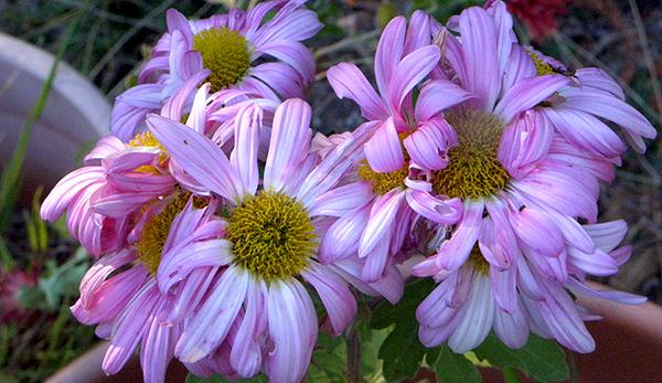 faded pink daisy mums