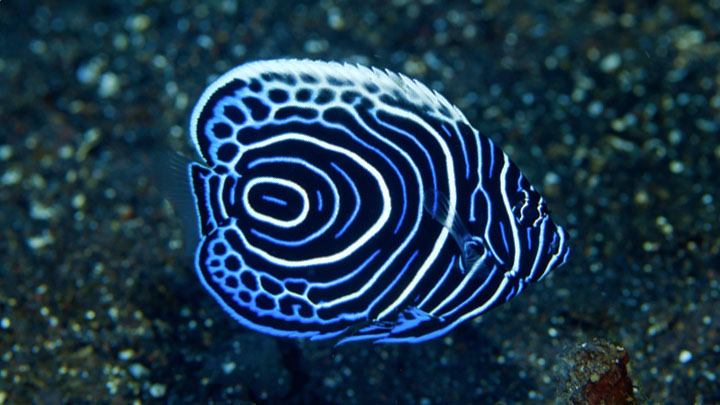 emperor angelfish for sale