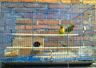 Cara Ternak Love Birds Supaya Cepat Menghasilkan Dengan Sangat Mudah