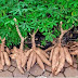 Unlocking Nigeria's Cassava Potentials: Strategies for Growth and Poverty Reduction