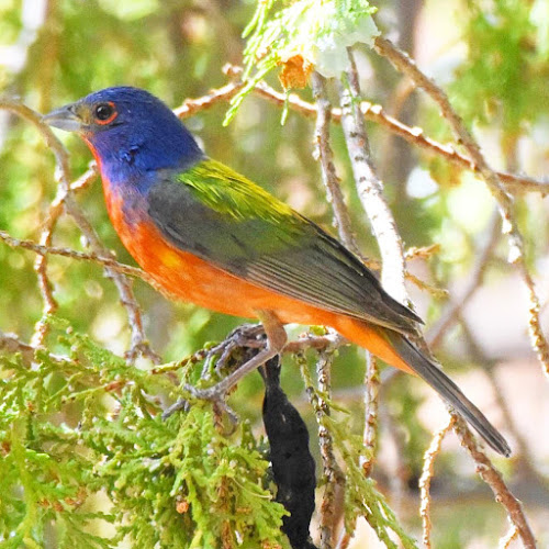 Painted Bunting at Agua Caliente Park