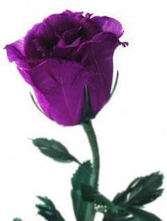gambar bunga mawar indah 26