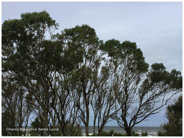 Eucaliptus -Chacra Educativa Santa Lucía