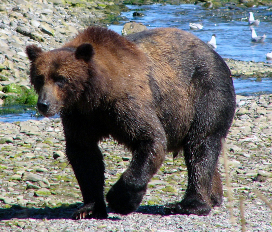 Northwest Explorer Bear Safety