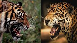 Nếu một con Báo Jaguar có cùng kích cỡ của một con Hổ, ai sẽ là kẻ chiến thắng?