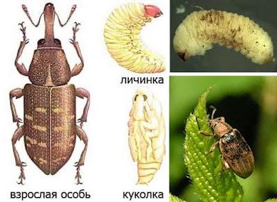 насекомые вредители сада