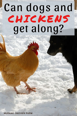 Dog and chicken facing each other in the snow